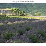 Champ de Lavandes près du Verdon by michel.seguret -   Var Provence France