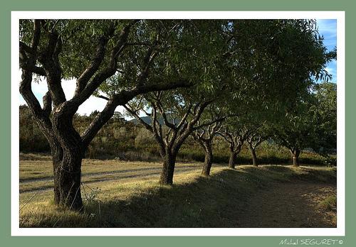 Alignement d'oliviers by michel.seguret