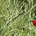 Coquelicot rouge : éphémère et lumineux by feelnoxx - St. Cyr sur Mer 83270 Var Provence France