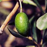 Olive verte ! by Macré stéphane -   Var Provence France