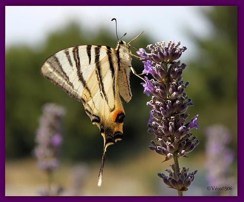 La Fleur et le Papillon par Vero7506