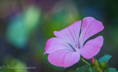 Sweet pink of dreams by frederic.gombert