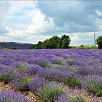 Et voilà ... la lavande ! par  - Apt 84400 Vaucluse Provence France