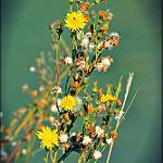 Fleurs jaunes by Dor Ka - Beaumes de Venise 84190 Vaucluse Provence France