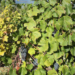 Côte du Ventoux - grapes growing par  - Bédoin 84410 Vaucluse Provence France