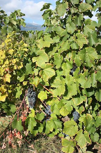 Côte du Ventoux - grapes growing par Sokleine