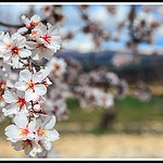 Branche d'amandier en fleurs by Photo-Provence-Passion - Bédoin 84410 Vaucluse Provence France