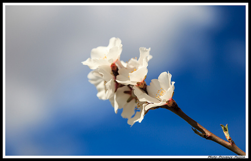 Gros plan : fleur d'Amandier by Photo-Provence-Passion
