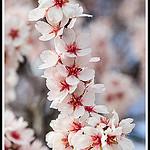 Branche d'Amandier en Fleur by  - Bédoin 84410 Vaucluse Provence France
