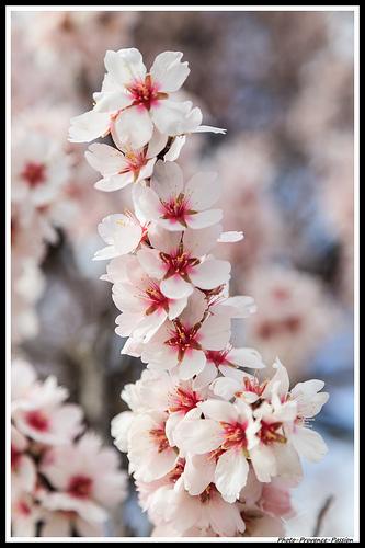 Branche d'Amandier en Fleur par Photo-Provence-Passion