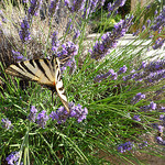 Papillon zébré sur lavande par gab113 - Blauvac 84570 Vaucluse Provence France