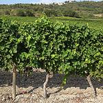Vigne au pied de Blauvac by gab113 - Blauvac 84570 Vaucluse Provence France