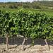 Vigne au pied de Blauvac par gab113 - Blauvac 84570 Vaucluse Provence France