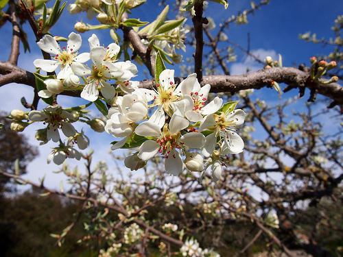 Cerisier en fleur par Cpt_Love