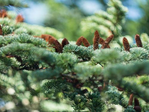 Cèdre - Forêt des cèdres  par Cpt_Love