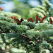 Cèdre - Forêt des cèdres  par Cpt_Love - Bonnieux 84480 Vaucluse Provence France