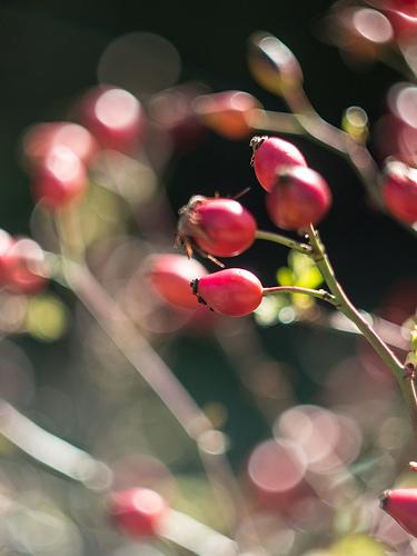 Eglantier : fleur rouge par Cpt_Love