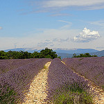 Lavender in Luberon, Provence by HervelineG - Buoux 84480 Vaucluse Provence France