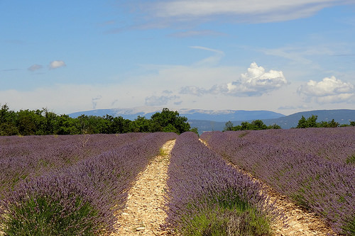 Lavender in Luberon, Provence by HervelineG
