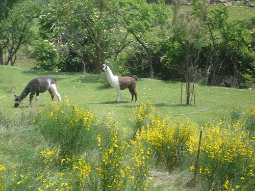 Lamas en Provence by gab113