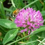 Une abeille sauvage butinant son trèfle par Christophe Guay - Carpentras 84200 Vaucluse Provence France