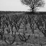 La vigne en hiver by phildesorg - Châteauneuf-du-Pape 84230 Vaucluse Provence France