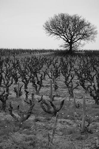 La vigne en hiver par phildesorg