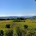 Vignobles de Cucuron par Charlottess - Cucuron 84160 Vaucluse Provence France