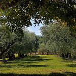 Champs d'oliviers à Cucuron by Charlottess - Cucuron 84160 Vaucluse Provence France