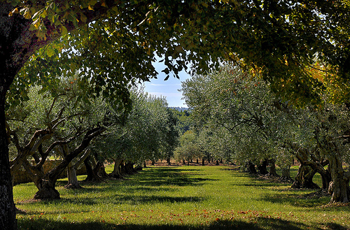 Champs d'oliviers à Cucuron by Charlottess