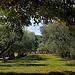 Champs d'oliviers à Cucuron par Charlottess - Cucuron 84160 Vaucluse Provence France