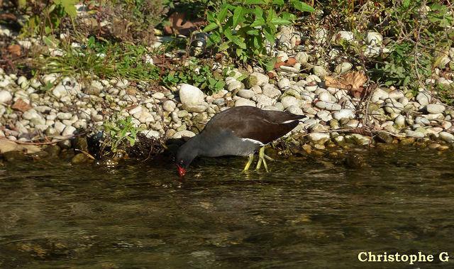 Gallinule poule d'eau dans la Sorgue  (Vaucluse - Entraigues sur la Sorgue) par Patrimoines du Sud de la France