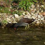 Gallinule poule d'eau dans la Sorgue  par Patrimoines du Sud de la France - Entraigues sur la Sorgue 84320 Vaucluse Provence France