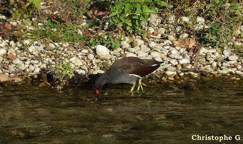 Gallinule poule d'eau dans la Sorgue  par Patrimoines du Sud de la France