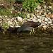 Gallinule poule d'eau dans la Sorgue  by Patrimoines du Sud de la France - Entraigues sur la Sorgue 84320 Vaucluse Provence France