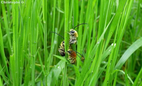 Trio d'abeilles sauvages dans les hautes herbes (Entraigues sur la sorgue - Vaucluse - 9 avril 2018) par Christophe Guay