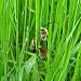 Trio d'abeilles sauvages dans les hautes herbes (Entraigues sur la sorgue - Vaucluse - 9 avril 2018) par Christophe Guay - Entraigues sur la Sorgue 84320 Vaucluse Provence France