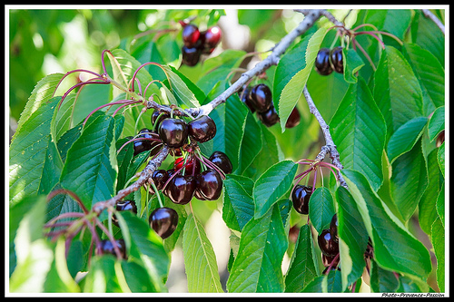 Les Cerises Burlat de Flassan by Photo-Provence-Passion
