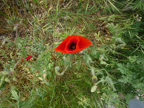 coquelicot by gab113