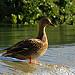 Cane au fil de l'eau par bernard BONIFASSI - Fontaine de Vaucluse 84800 Vaucluse Provence France