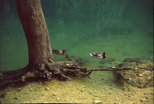 Fontaine de Vaucluse, canards et racines par Zakolin