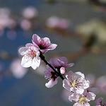 Cerisier en fleurs par [ SUD ] Bertil Hansson - Gordes 84220 Vaucluse Provence France