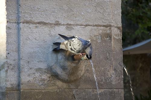 Pigeon assoiffé à la fontaine par MaJuCoMi