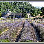 The monks who live at Sénanque grow lavender by myvalleylil1 - Gordes 84220 Vaucluse Provence France