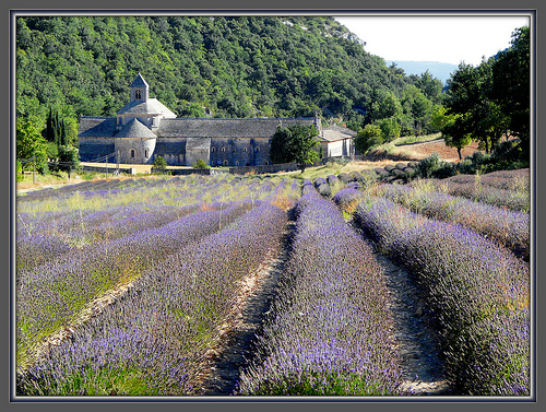 The monks who live at Sénanque grow lavender by myvalleylil1