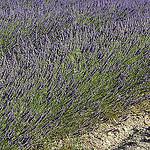 Provence - Lavande à l'Abbaye de Sénanque by Massimo Battesini - Gordes 84220 Vaucluse Provence France
