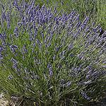 Provence - Lavande de l'Abbaye de Sénanque par Massimo Battesini - Gordes 84220 Vaucluse Provence France