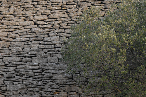 Motifs de provence - L'olivier contre le mur par Michel Seguret
