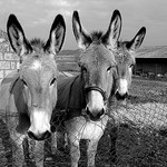Mules in Goult, France by [ SUD ] Bertil Hansson - Goult 84220 Vaucluse Provence France