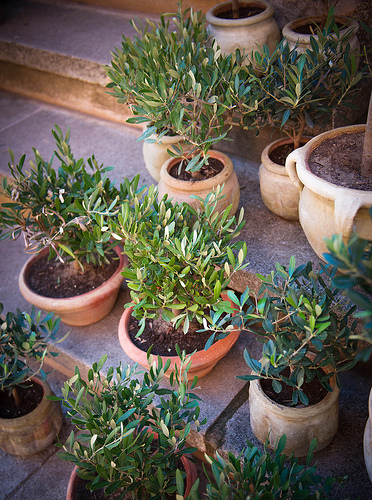 Mini Olive trees, Souvenir from Provence by Ann McLeod Images